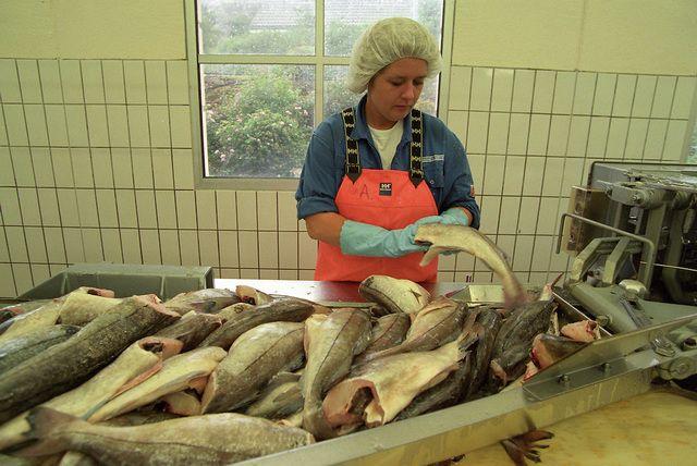 Переработка рыбы на фабрике
